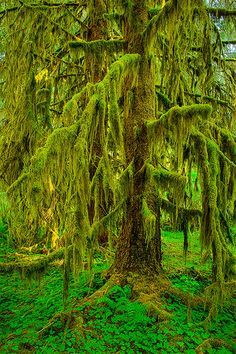 Hoh Rainforest . Olympic National Park . Washington