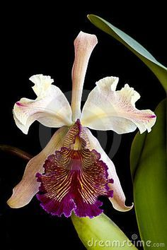 Cattleya dowiana orchid by Martin Battiti