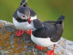 Puffins live mostly at sea, resting on the waves when they aren't swimming — National Geographic