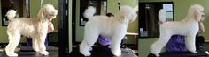 Before bath, fluffed out and finish 6 month old Standard poodle Jezebel. 2nd place in Rags to Riches contest Misty Gieczys