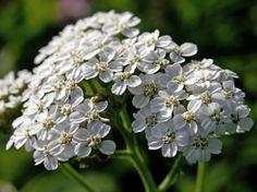 Siankärsämö, Achillea millefolium - Kukkakasvit - LuontoPortti