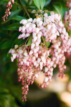 Lily of the valley shrub - Pieris japonica. Enjoys shady areas under trees in cooler areas of Australia.