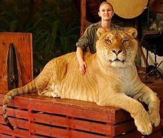 ligers!!!