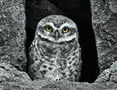 Spotted Owlet by Bhavya Joshi