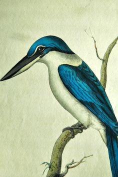 COLLARED KINGFISHER engraving R.P. Nodder 1700s1800s by FISHRAVEN, $175.00