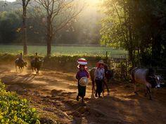 myanmar-people-morning-cattle_88363_990x742