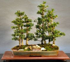 sold japanese boxwood buxus microphyllia here s a bonsai forest ...