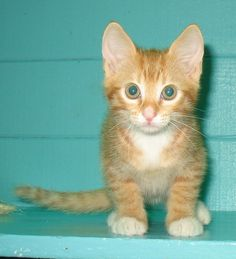 Cherokee Tabby - Orange Cat | Santa Barbara CA
