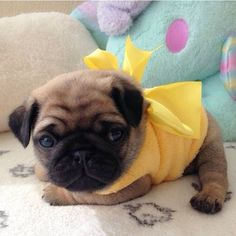 Roly poly baby pug