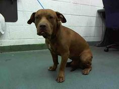 JAKE (A1640876) I am a neutered male brown Pit Bull Terrier mix.  The shelter staff think I am about 3 years old.  I was found as a stray and I may be available for adoption on 09/09/2014. — hier: Miami Dade County Animal Services. https://www.facebook.com/urgentdogsofmiami/photos/pb.191859757515102.-2207520000.1410121584./835001269867611/?type=3&theater
