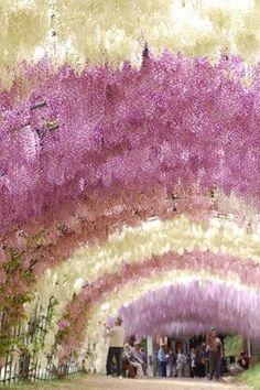 Tunnel of wisteria blossoms, Kawachi Fuji Gardens, Fukuoka, Japan. Okay so we could try making garland wisteria with tulle? Beautiful World, Beautiful Gardens, Beautiful Flowers, Beautiful Places, Simply Beautiful, Amazing Places, Wisteria Garden, Wisteria Tunnel, Wisteria Japan