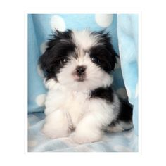 Shih Tzu Puppy For Sale ❤ liked on Polyvore