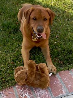 - Fox Red Labrador