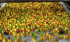 """Fazenda Movimento - Colheita ... """"Cada cor um sabor"""" .."""