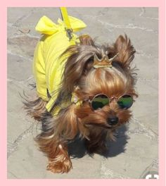 Yorkie Shout Outs - Coulson Puppies Yorky Terrier, Terrier Dogs, Cute Funny Animals, Cute Baby Animals, Yorkie Clothes, Teacup Yorkie, Yorkshire Terrier Puppies, Yorkie Puppy, Cute Dogs And Puppies