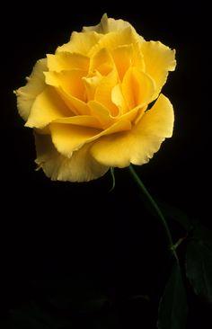 35-920773  Yellow Rose www.phawkinsphoto.com Peter Hawkins©1992