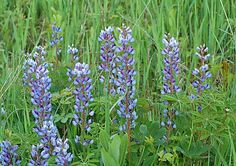 Northwest Ohio Rare Plants:  Blue Lupine can be found in Oak Openings