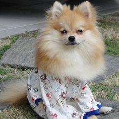 Bom dia!! Domingo é dia de ficar o dia inteiro de pijama!! #spitz #spitzalemao #spitzalemaoanao #spitzbrasil #pom #pompom #pomeranian #luludapomerania #pomeranians #pomeranianworld #dogstagram #dogsofinstagram #dogstyle #cutedogs #littledog #brpets #instadogs #maceiodogs #puppy #puppylove #instapuppy #dantepompom #dantepompom8meses #lovadogmaceio  by dante_pompom  http://bit.ly/teacupdogshq