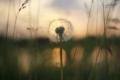 Dandelion By The Lake, At Sunset by Benjamin Robinson | Artfinder