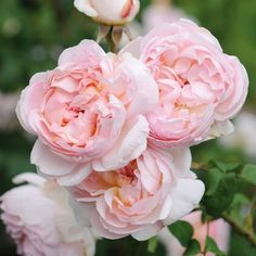 Sharifa Asma - English Rose Shrubs - English roses - bred by David Austin