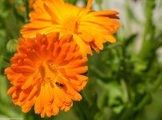Calendula, Garden, Plant, Lawn And Garden, Gardens, Outdoor, Home Landscaping, Tuin