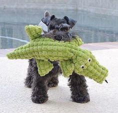 schnauzer with toy