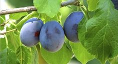 Damson Plum Tree Information – Learn How To Grow Damson Plums