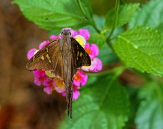 White-striped Longtail Photograph