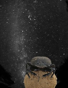 Dung Beetles Follow the Stars The humble dung beetle makes its living rolling big balls of excrement to feed its offspring and itself. But this lowly occupation doesn't mean the insect doesn't have its eye on the skies—even when the sun goes down.