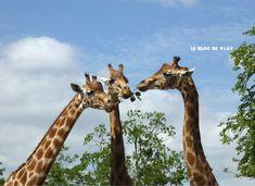 Le blog de Plok: {Parc} Les Rendez-Vous Sauvages avec les Girafes au #ZooDeParis