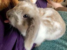 Mini Lop Bunnies, Holland Lop Bunnies, Cute Bunny, Bunny Rabbits, Mini Lop Rabbit, Diy Bunny Cage, Diy Bunny Toys, Bunny Cages, Rabbit Hutch Indoor