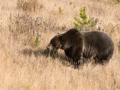 Grizzly bear No. 122 in Banff National Park.