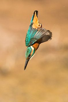 Funny Wildlife, ……That's not flying……. that's falling with style…...