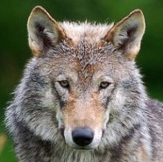 How do you feel about Gray Wolves? What do you know about wolves in general? In the Wolf Unit Study you can learn about the anatomy of these fascinating canines, where they live, their distinctive features and how they raise their young as well as...