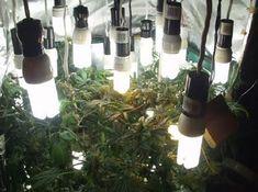 ¿Qué iluminación elegir para mi cultivo de marihuana?