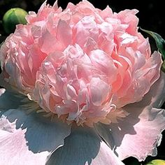 This early-blooming bomb type sets creamy-pink blooms that last a week or more in the vase! The bloom color varies greatly from flower to flower, with a single plant often setting cream, pink, and rose blooms all in the same season.
