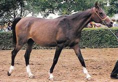 Aswan excelled at siring broodmares. Examples include Pesnia, the dam of *Pesniar, purchased for $1 million + imported to the U.S. in 1981; Molva, called Aswan's most beautiful + best-producing daughter by former Tersk director Alexander Ponomarev + dam of Wympel + Karinka, a full sister to Kilimanjaro, an accomplished race mare + dam of Russian Derby winner and European Champion Stallion Drug.