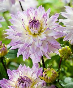 Dahlia 'Crazy Love' | Flower Bulbs from Spalding Bulb
