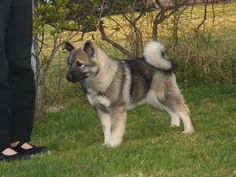 Norwegian Elkhound.. I had the pleasure of owning one as a child. Her name was Tasha and I loved her so much.