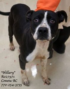 Tx-16HillaryA027971pic2.jpg EXTREMELY URGENT  Last Chance Hillary is a pitbull terrier mix located at Coweta Co. Animal Control since 6-13-14. She needs help now.