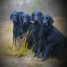 Flat Coated Retrievers ~ Classic Look