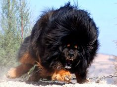 Tibeten Mastiff, one of the most expensive dogs on earth :)