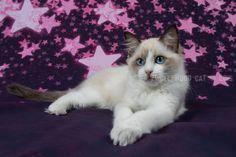2015: Lady Sif A Zwollywood Cat. 13 Weeks old Ragdoll kitten, chocolate bicolour. Dark world litter.