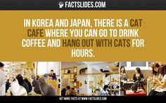 In Korea and Japan, there is a Cat Cafe where you can go to drink coffee and hang out with cats for hours. I love Japan, bu hate cats, no critics please. Cat Facts, Funny Facts, The More You Know, Did You Know, Fact Slides, Japan Facts, Cafe Japan, What The Fact, Hate Cats