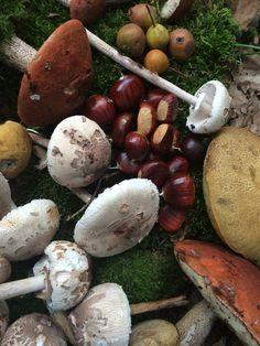 récolte, champignons, mushrooms,cèpes, coulmelles, chateignes, poires sauvages.