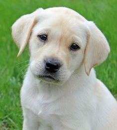 Ranger the Labrador Retriever #labradorretriever