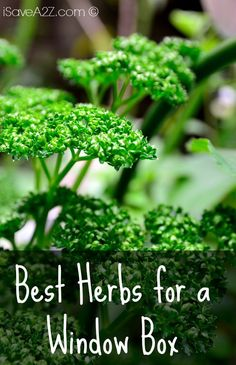 Best Herbs for a Window Box - iSaveA2Z.com