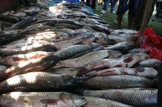 http://www.manipurtimes.com/self-employment/flora-and-fauna/1307-Fishery and aquaculture farming is being practiced in around 1 lakh hectare in Manipur. The state has the potential to produce 56,500 tons of fish per annum. However, despite having this good potential of fish production, the state produces only 18,000 tons per annum with an average production of 2 tons per hectare. As such there is a huge gap between demand and supply of fish as the state needs around 48,000 tons per annum.
