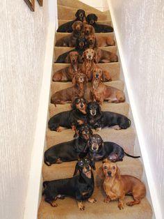 A dachshund lover, for sure - Doxie - Dachshund Puppies, Weenie Dogs, Dachshund Love, Cute Puppies, Cute Dogs, Dogs And Puppies, Dapple Dachshund, Doggies, Daschund