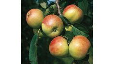 Die beliebtesten alten Apfelsorten | Gravensteiner Herbstapfel